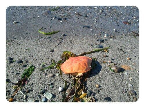 Krabbenschale am Strand